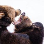 噛み合うクマ
